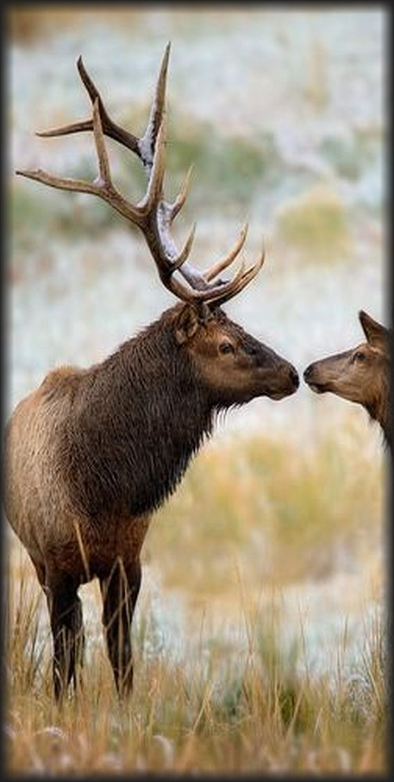 deer kiss love #photo via: backcountrygallery.com/yellowstone/