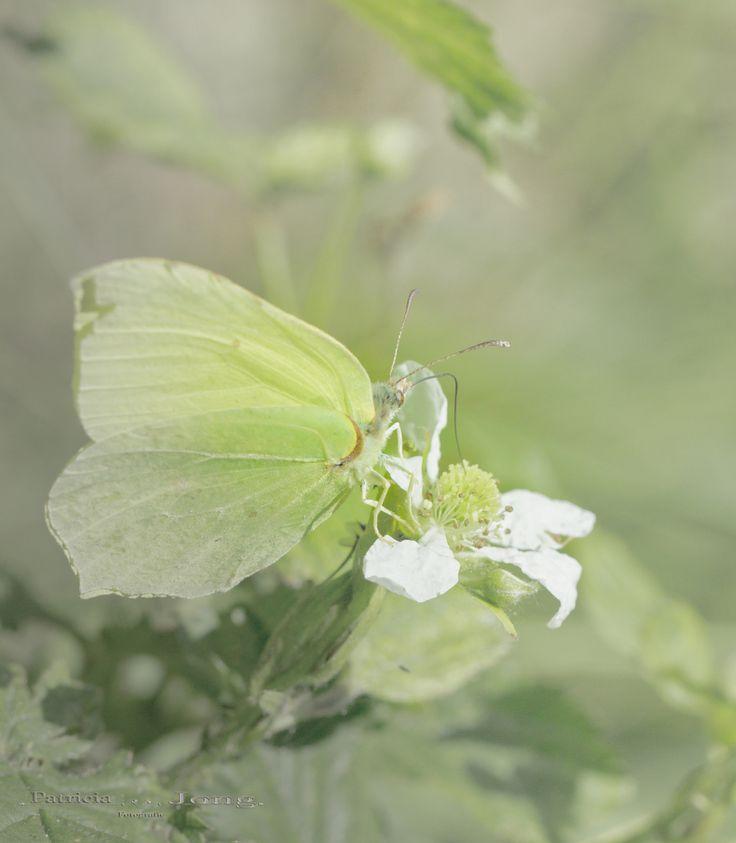 Photograph Gonepteryx rhamni by patricia jong on 500px
