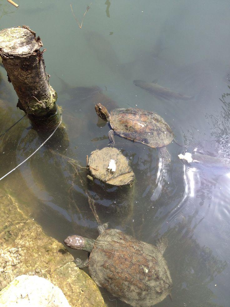 Nar Tanesi'nde kaplumbağa ve sazan havuzu