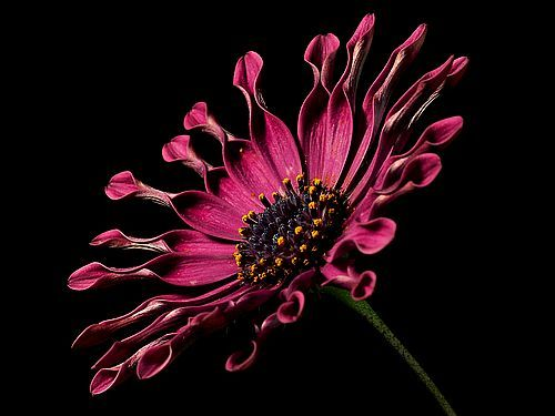 Free Stock Photo of African Daisy on Black Background
