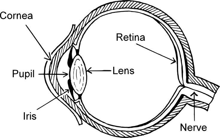 best 25  human eye diagram ideas on pinterest