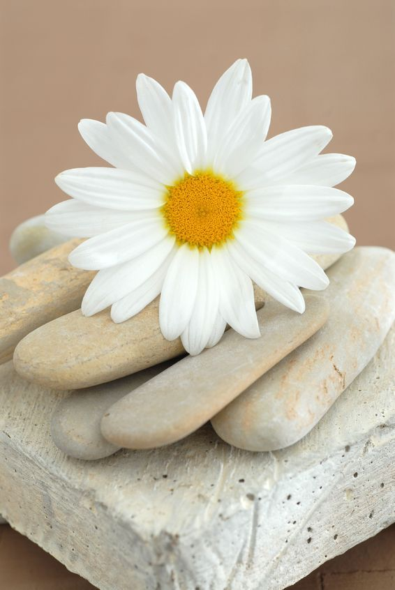 Elena Ray 'Daisy and Stones' Gallery-Wrapped Canvas is a high-quality canvas print depicting a still life art photograph of a simple daisy flower resting on earth-toned stones. A natural and serene ad