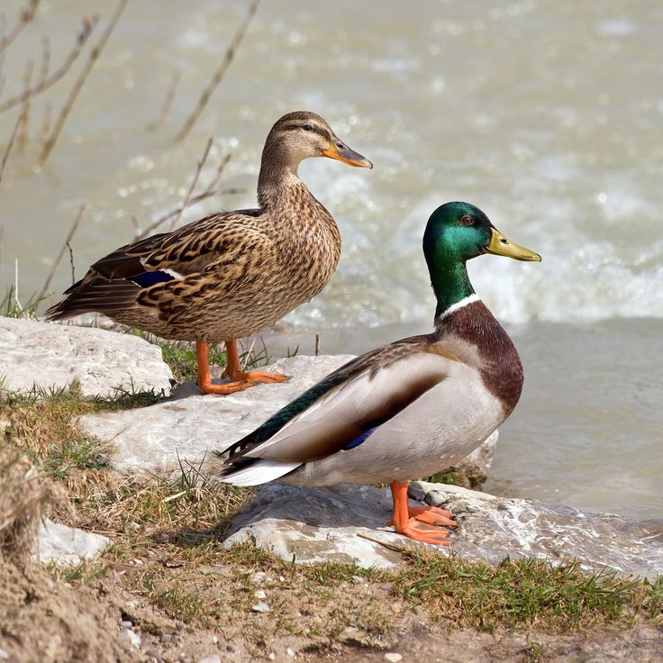 A pair of Mallards, an easily recognized species of dabbling duck found throughout temperate and subtropical Americas, Europe, Asia, North Africa, Australia and New Zealand. The male birds have a bright-green head (in breeding season) and are grey on wings and belly; the females are brown all over. Both sexes have blue speculum feathers and live in wetlands, eat water plants and small animals. This species is the ancestor of almost all of the breeds of domestic ducks.  Photo: Richard Bartz