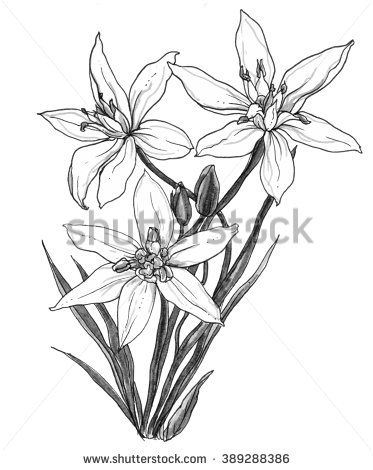 White Star of Bethlehem flower in blossom in bouquet isolated on white background. Hand drawn watercolor botanical black and white monochrome illustration for wedding printing, card, invitation, gift - stock photo