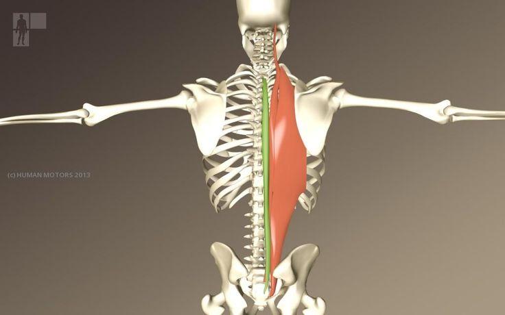M. erector spinae » Human Motors