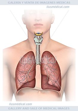 Ilustración Torso humano traquea y pulmones. Los pulmones son los órganos más  ....