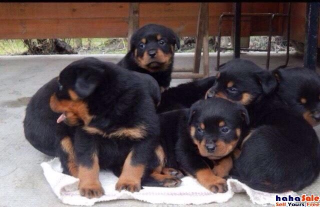 Rottweiler Puppies For Sale Waz Zap What Sapp 60172415563 For Sale