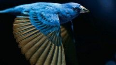 Behind the scenes of the film The Messenger - filming songbirds in flight in wind tunnel