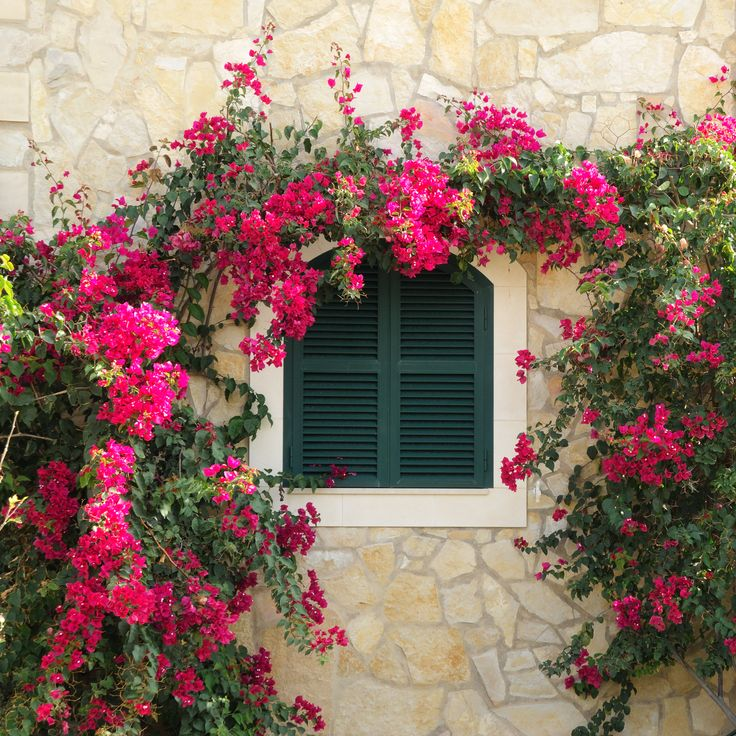 Diano Marina in Liguria - see these exotic flowering blooms for which this part of the Italian Riviera is named. www-hotelmorchio.com