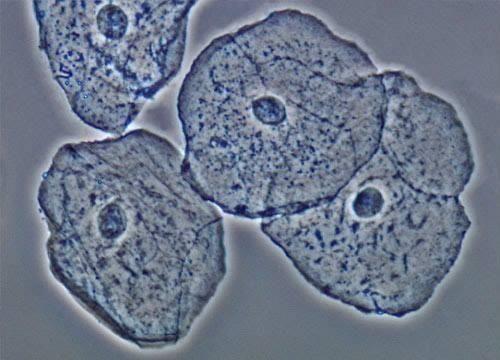 Célula vista pelo microscópio óptico.