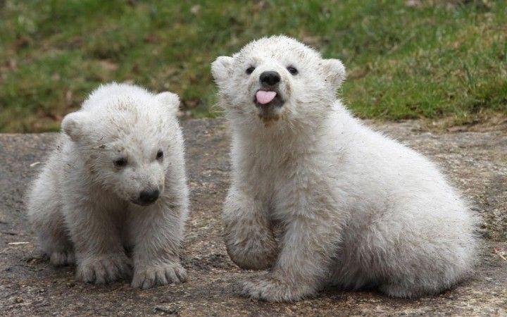 Медведи влюбленные картинки