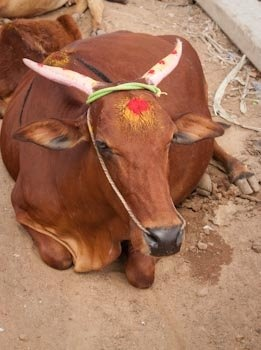 "Resting cow ""decked out"" for Mattu Pongal: white painted horns with red dots, new necklace, and sandalwood paste marks on the forehead and down the spine."