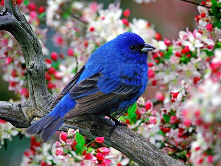 Lovely picture. The white and read background just makes the colors of the Indigo Bunting stand out even more.: Bluebirds, Birds Pictures, Color, Little Birds,  Passerina Cyanea, Indigo Buntings,  Indigo Birds, Beautiful Birds,  Indigo Finch