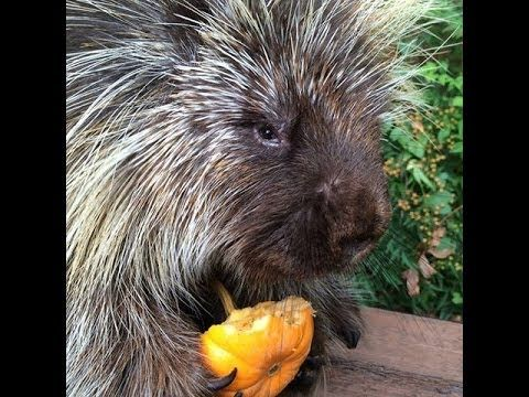 Teddy Bear the Talking Porcupine Eats a Pumpkin For Halloween-Devotion #2