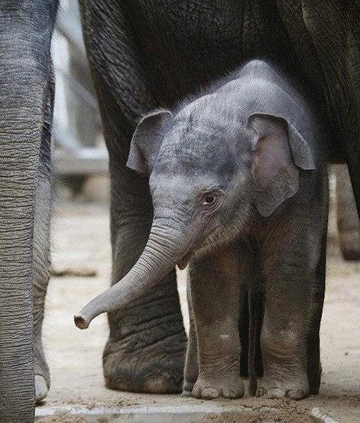 In the Czech Republic at Zoo Praha, an elephant calf is pictured with adult elephants Donna, Tonya and Gulab.