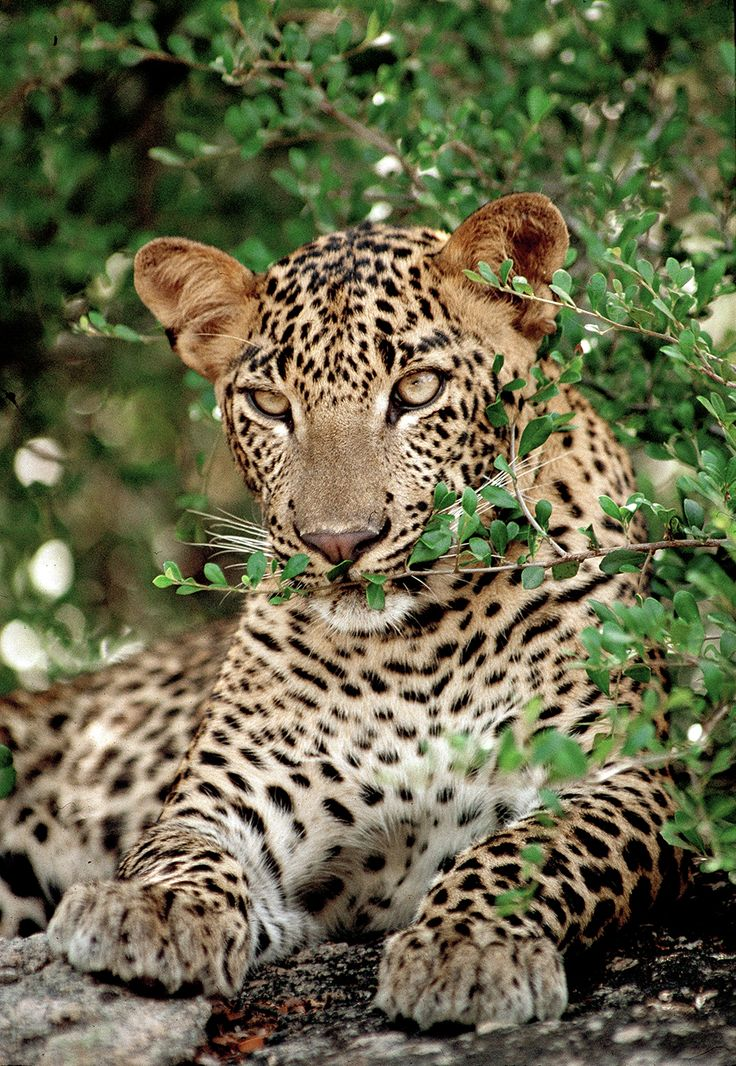 The Sri Lankan leopard is a leopard subspecies native to Sri Lanka that was first described in 1956 by the Sri Lankan zoologist Deraniyagala.