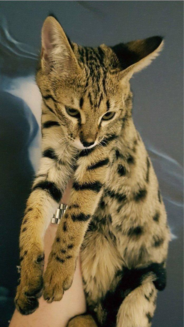 10 F7 Savannah Cat Price In 2020 Savannah Cat Savannah Cat Price F5 Savannah Cat