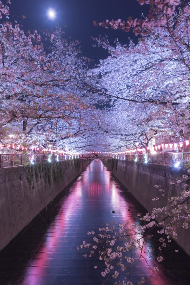 Full Blooming Cherry Blossoms On A Moonlight Night By Daigo 500px In 2021 Cherry Blossom Wallpaper Scenery Wallpaper Cherry Blossom Japan