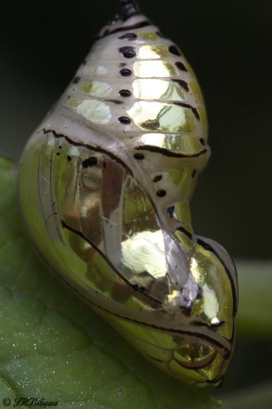 Tithorea tarricina chrysalis..before the transformation,  Like a jewel!