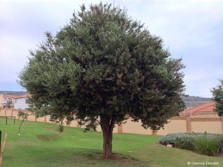 Buddleja saligna, False Olive