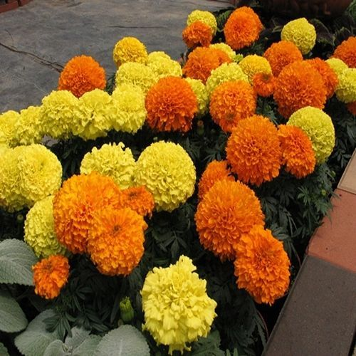 African Marigold Orange Flower Seeds (Tagetes Erecta Tall Sierra) 50+ Seeds