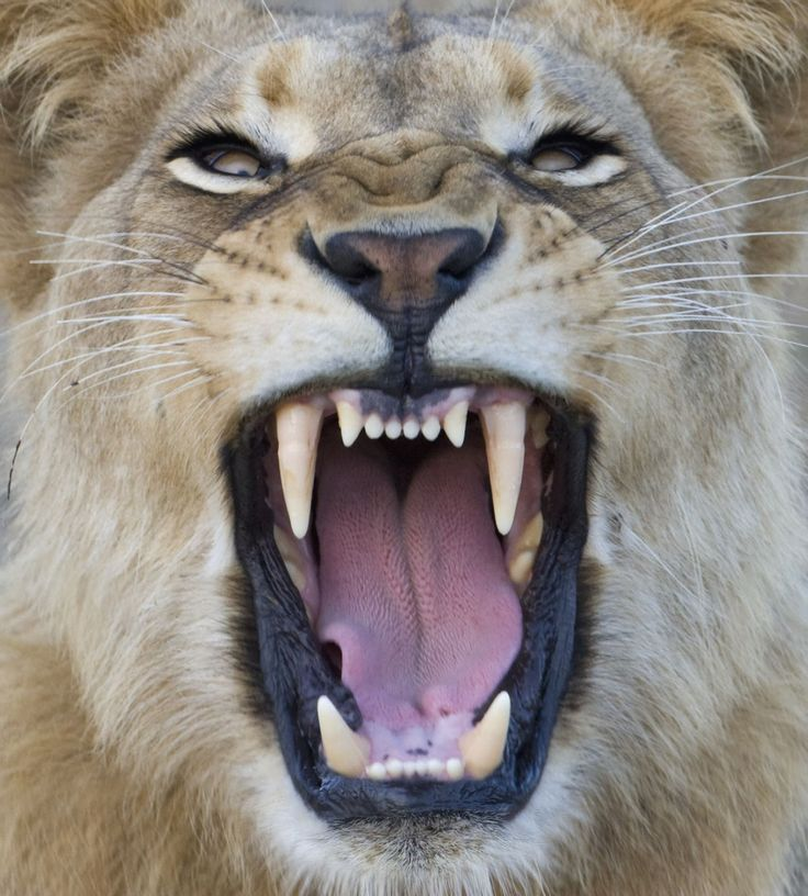 Image Gallery Lion Teeth