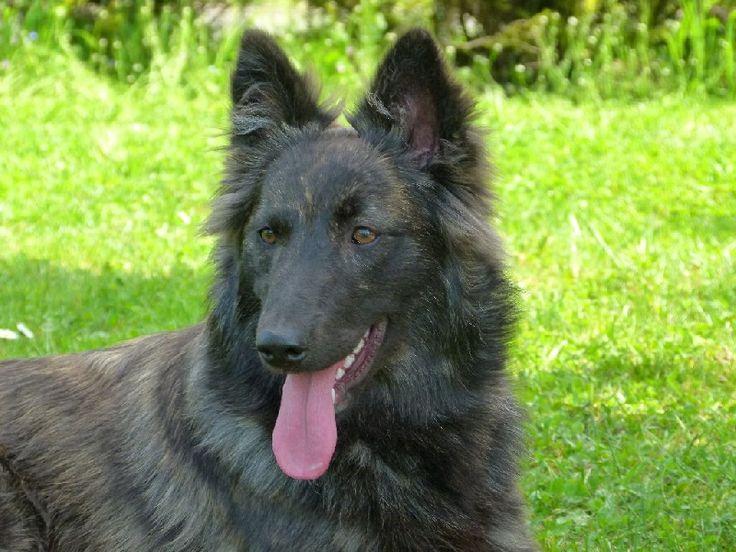 german shiloh   CH. H'alix Du Domaine De Drenthe chien de race toutes races en tous ...
