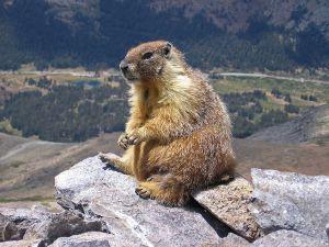800px-Marmot-edit1