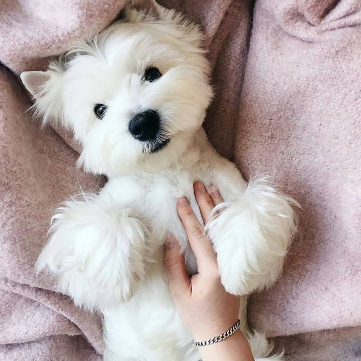 "6,910 Likes, 36 Comments - Westie Moments® (@westiemoments) on Instagram: ""Best Westie  & Hoodies EVER in @westiemoments profile❗ Satisfaction guarantied❗ Worldwide…"""