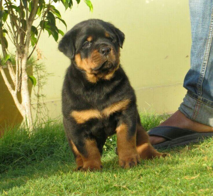 My sweet puppy Rottweiler 9950330009 Jaipur, Rajasthan WWW.dogshub.in dogshub@gmail.com https://plus.google.com/101854701297238664193 https://www.facebook.com/dogshub.in https://www.pinterest.com/dogshub www.youtube.com/user/Dogshub https://twitter.com/dogshub