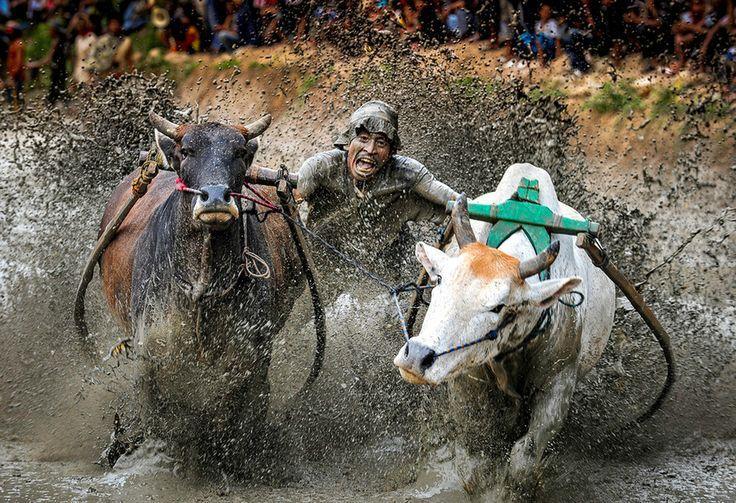 Pacu Jawi (carrera de reses) - Tanah Datar, Sumatra, Indonesia / Foto: Terance Tan