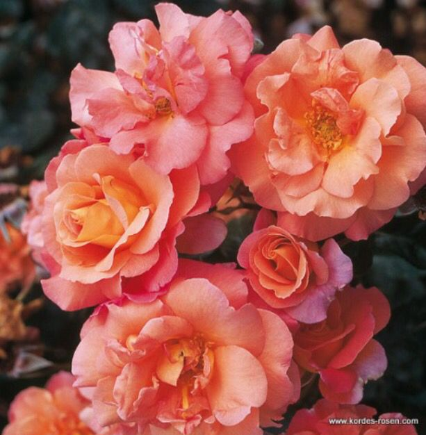 Rose Bonanza ® Shrub roses and Shrub - baldur garten rosen