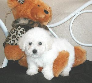 Shih Tzu Bichon Mix for Sale | bichon-frise-shih-tzu-puppies - bichon shih tzu puppies for - | IMAGES