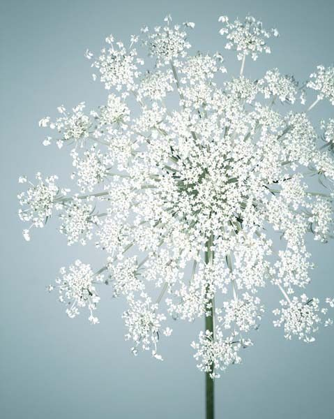 """Fine Art Flower Photography Print """"Queen Anne's Lace No. 10"""" from Rocky Top Studio"""