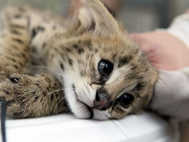 """Servals are extremely intelligent, and demonstrate remarkable problem-solving ability, making them notorious for getting into mischief, as well as easily outwitting their prey, and eluding other predators."" (Link has an adorable video - check it out!)"