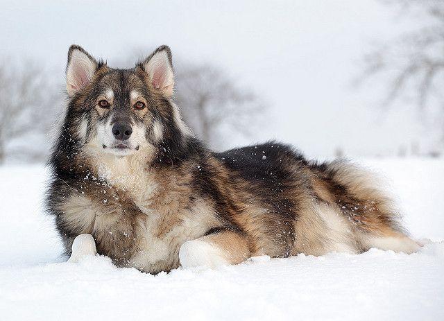 UTONAGAN  Loki Awesome Animal  Adorable Dogs  Utonagan Loki  Animal    Utonagan Loki