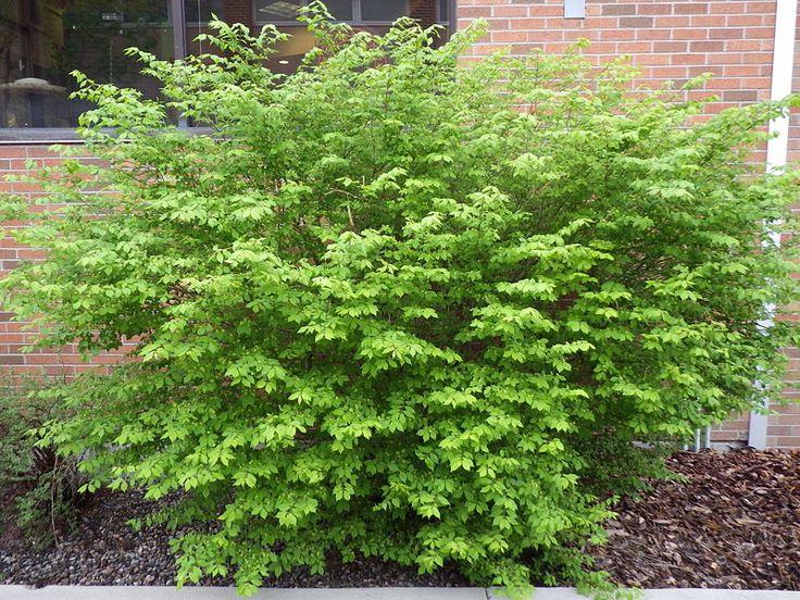 Euonymus alatus - Color throughout the growing season.