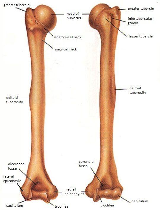 Skeletal System Diagrams | Anatomy | Pinterest | Skeletal ...