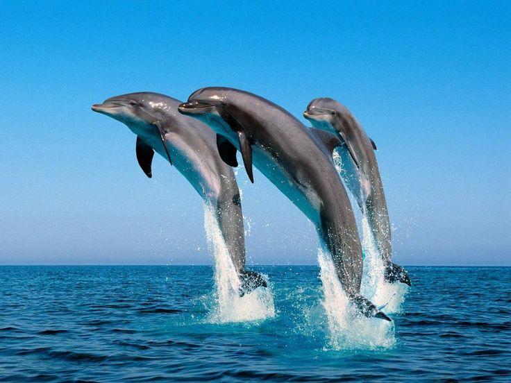 Delfiner - gratis bakgrundsbilder: http://wallpapic.se/djur/delfiner/wallpaper-30526