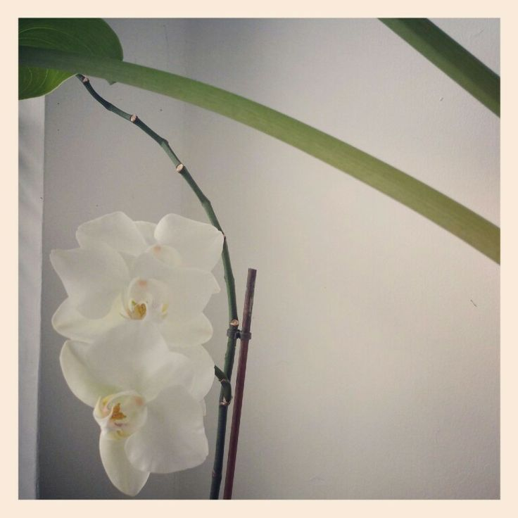 The Orchid.