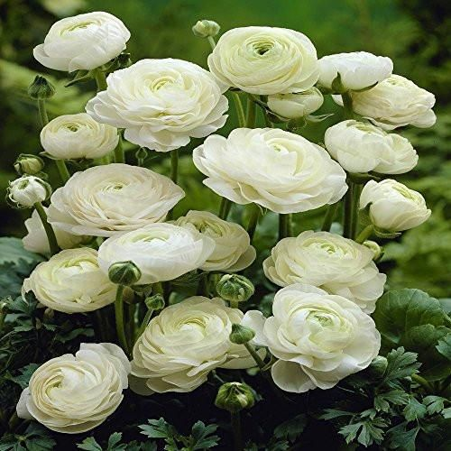 Ranunculus asiaticus White - 20 flower bulbsAlso known as the Persian buttercup, these bulbs will produce pure white fully double flowers withtightly clustered