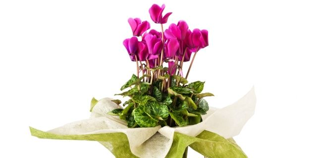 Čtyři hrnkové rostliny typické pro tradiční Vánoce