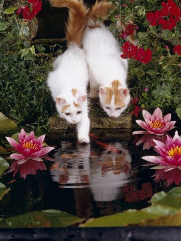 Domestic Cat, Two Turkish Van Kittens Watch and Try to Catch Goldfish in Garden Pond