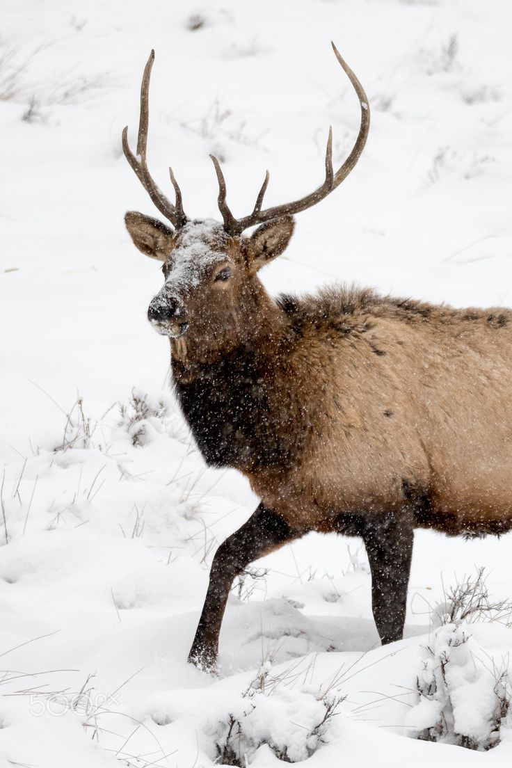 Stepping+Toward+Spring+-+A+wild+mature+bull+elk+continues+to+wrangle+his+harem+collected+during+the+annual+rut+amongst+a+harsh+winter+storm+near+Moraine+Park+-+Rocky+Mountain+National+Park,+CO