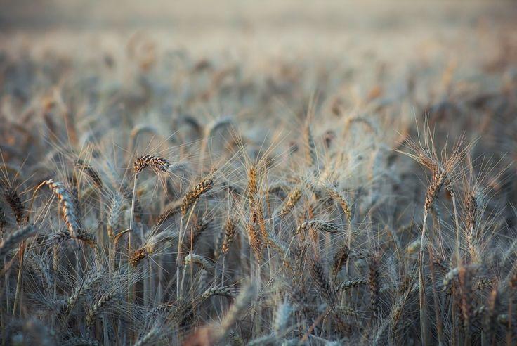 Champ de blé (Pologne)
