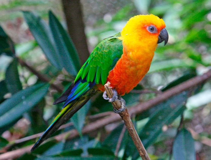 Aratinga Jandaya (Aratinga jandaya - De 30 cm. de longitud. tienen ambos lados del cuello, mejillas, lores, coberteras auriculares y frente de color naranja, más profundo en las coberteras auriculares, alrededor de los ojos y en los lores; la corona y la nuca son de color naranja amarillento (algunas aves con tonos amarillos más pálidos en la cabeza).