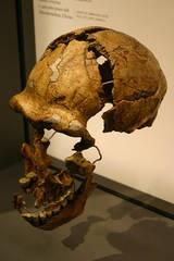 Peking Man Skull Fragments