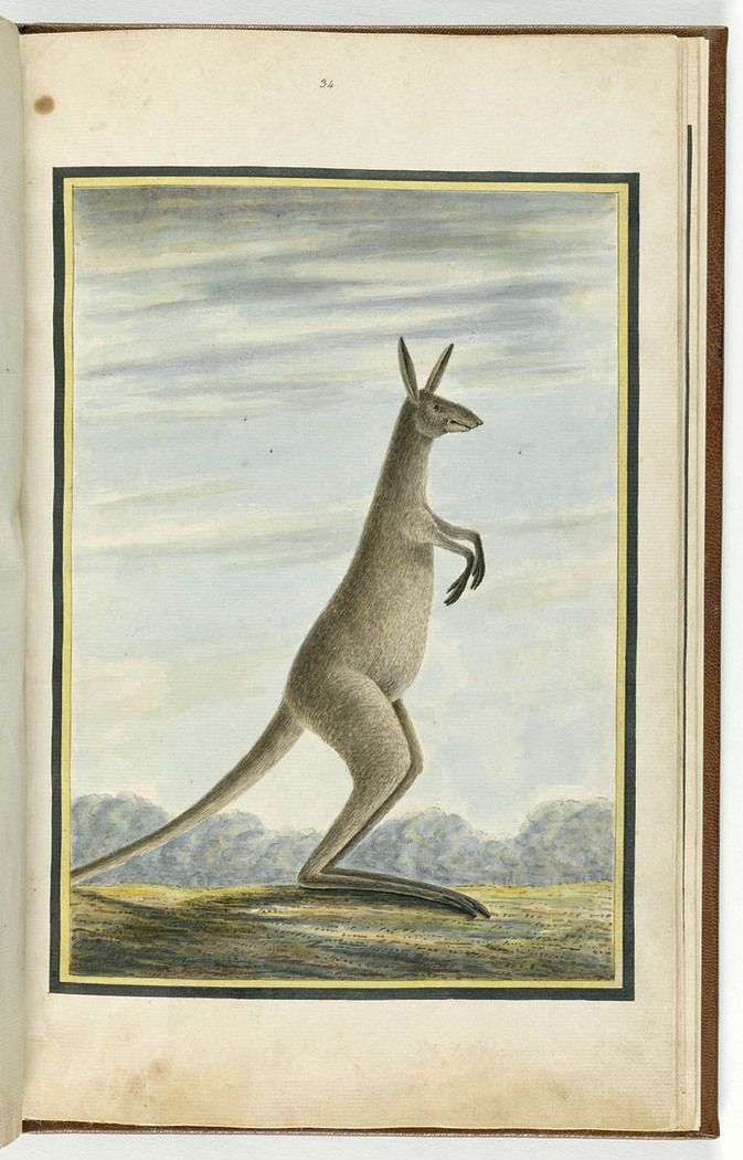Water color of an Eastern grey kangaroo. Painted by Richard Browne and added to a volume of specimens by Thomas Skottowe. From the collections of the Mitchell Library, State Library of New South Wales : http://www.acmssearch.sl.nsw.gov.au/search/itemDetailPaged.cgi?itemID=423725