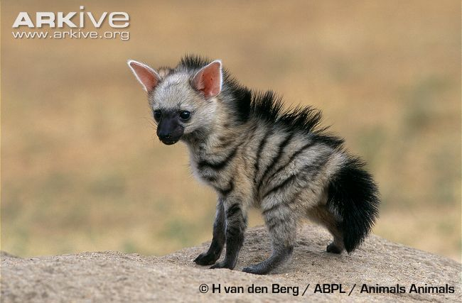 The aardwolf from eastern and southern Africa is not a wolf, not an aardvark, but a member of the hyena family. In fact, sometimes called the civet hyena. It eats no meat, but rather feeds on insects.