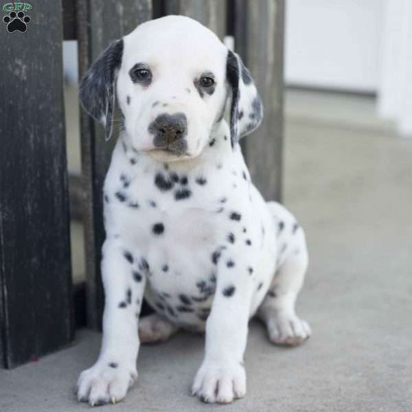 Brock is an energetic Dalmatian puppy with a joyful spirit. This active pup is vet checked and up to date on shots and wormer. Brock can be registered with the AKC and comes with a health guarantee provided by the breeder. To find out more about this well taken care of and full of life pup, please contact Kevin today!